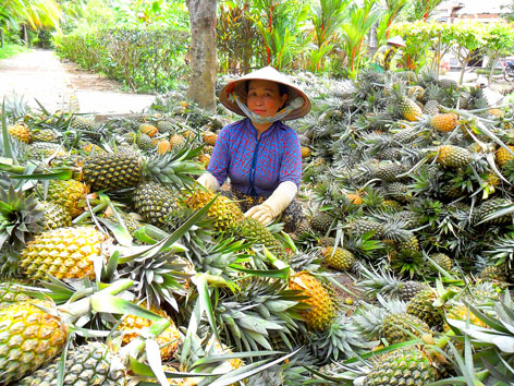 Latest technologies could see pineapple exports soar